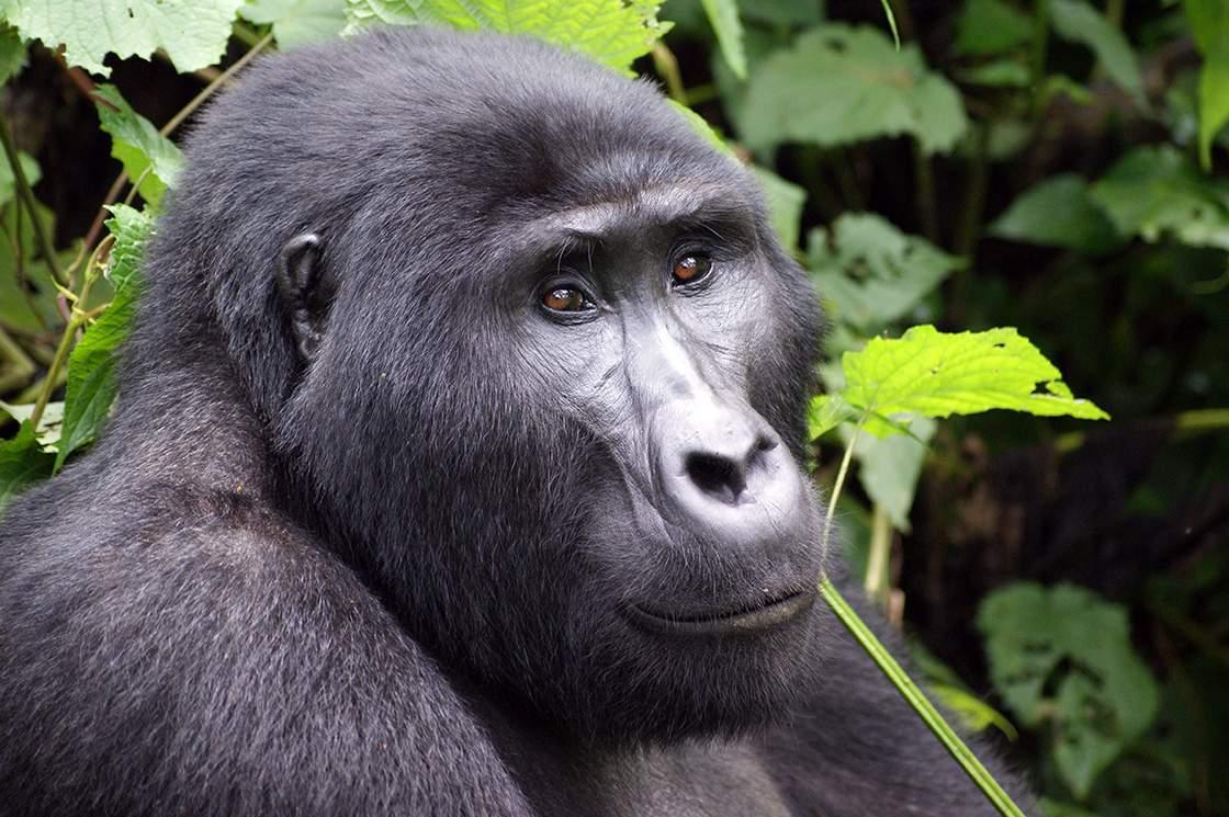 Gorilla Trekking Uganda Ein Erfahrungsbericht Und Tipps